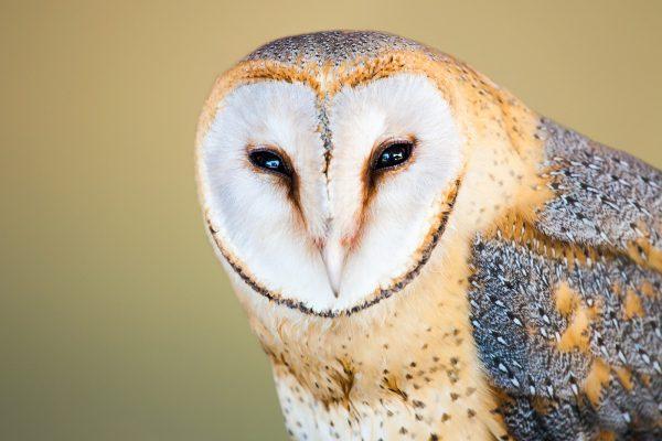 barn-owl-3052382_1920_1200px